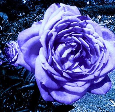 Flores azules - Imagenes para Facebook - loscomentarios.com