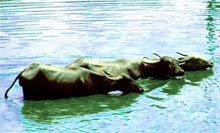 Buffaloes cooling off