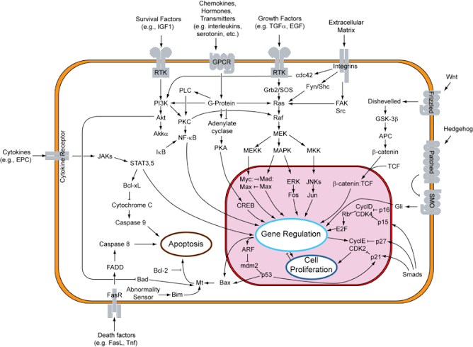 Apoptosis pathways