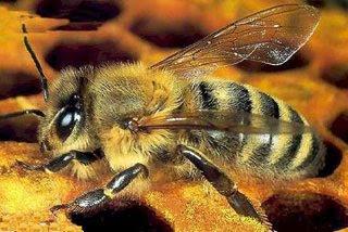 النحل القوقازى