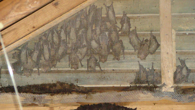 Bats In a Gable-Vent