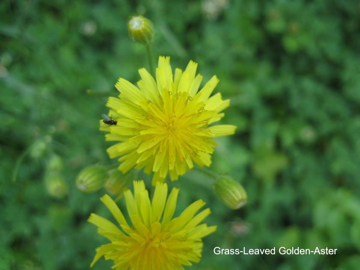 http://1.bp.blogspot.com/_ex0KP2sh8eU/TBwZcq1MuII/AAAAAAAAAnE/JMeAcDUafBE/s1600/Grass+leaved+golden+aster.jpg