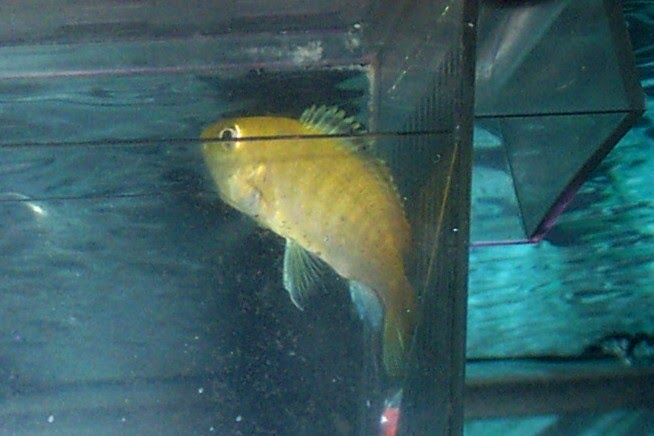 My fish tank adventures mouth breeding fish for Fish breeding tank