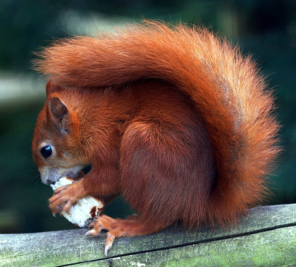 Image result for tuesday red squirrel images