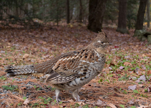 Upstate Grouse