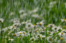 Daisies getting rained on