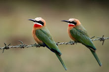White Breasted Bee Eater