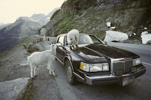Goats licking salt off car