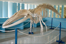Humpback Whale skeleton Brazil