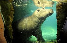 Chimala hippo at German zoo
