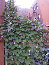 Morning Glories in Williamsburg