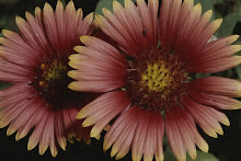 Close-up of a pair of Indian Blanket flowers.