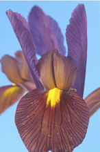 Eye of Tiger Iris