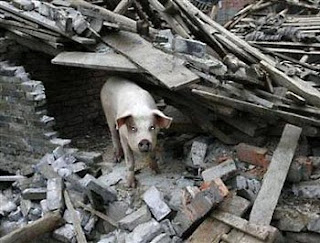 Beichuan pig survives earthquake
