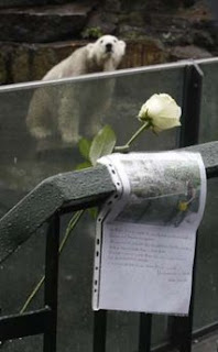 White rose and letter left on fence of Knut's enclosure by mourners