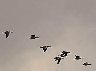 flock of Canadian Geese flying in formation
