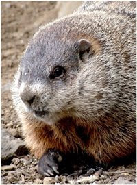 handsome groundhog, also known as a woodchuck
