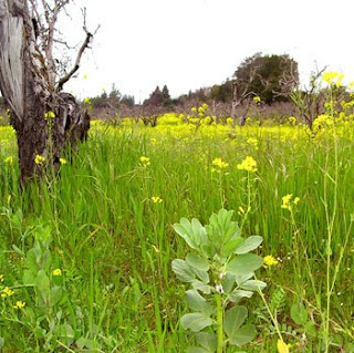 old apples trees in field of blooming wild mustard