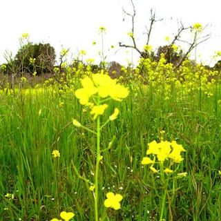 yellow blossoms of wild mustard