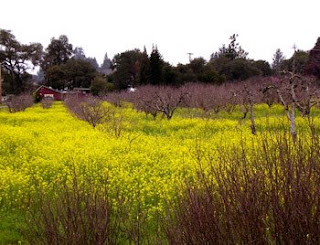 how beautiful the blooming wild mustard on a late winter's day in West County!