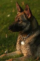 European German Shepherd at 10 Months
