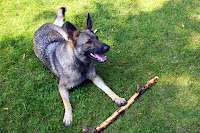 Sable GSD Laying Down with Stick