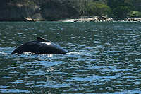 Humpback Feeding in Puerto Vallarta