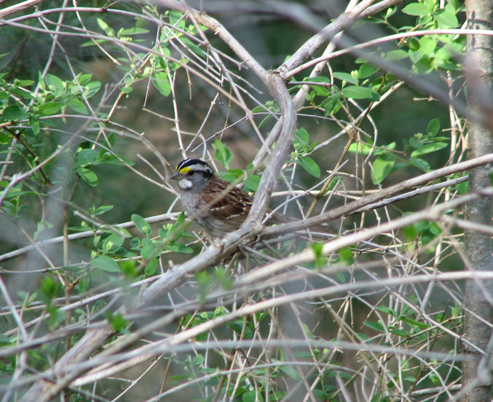 Birdinggirl white throated sparrow on cape cod for Call girls cape cod