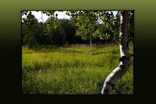 Aspen by a Meadow