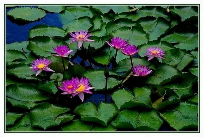 155- Lotus