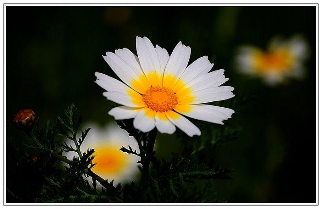 219 -Chrysanthemum coronarium