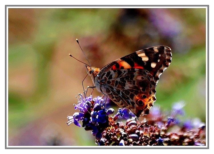 246- Hayıtlar kelebek açtı