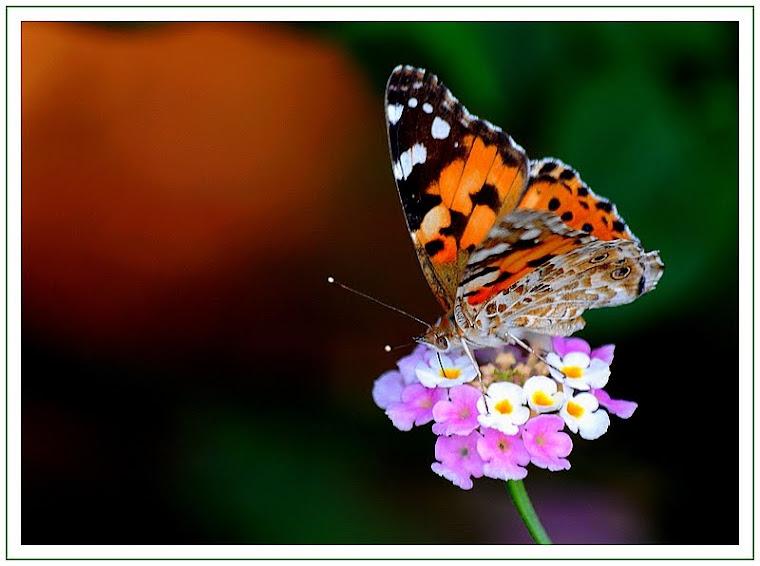 272 - Bahçemin kelebekleri