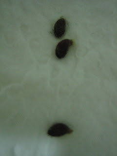 Pineapple seed germination