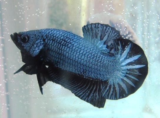 arseniastar: Jual Koleksi Ikan Cupang Berkualitas