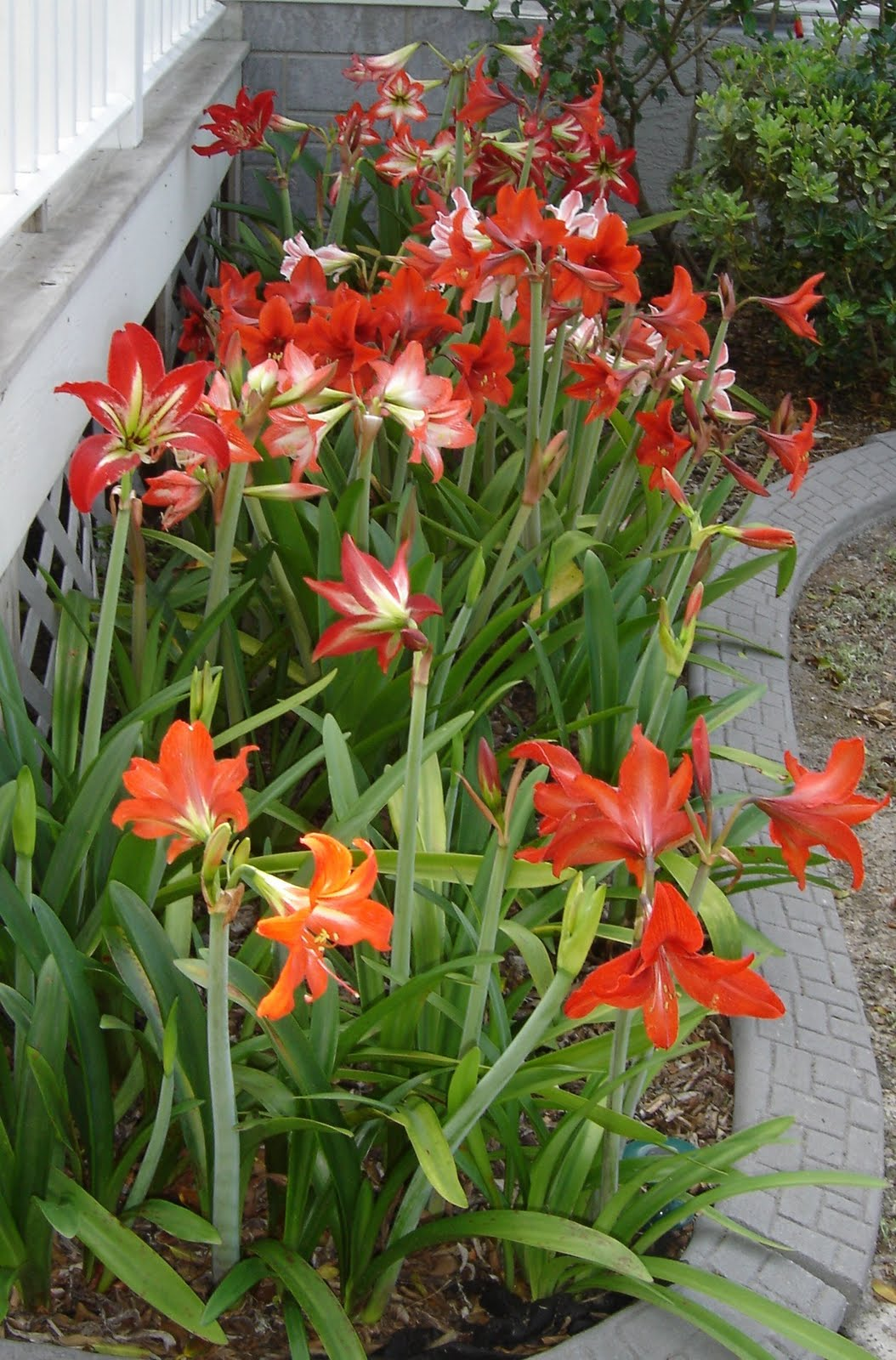Butterfly Babies Boutique My Amaryllis Flowers 2010