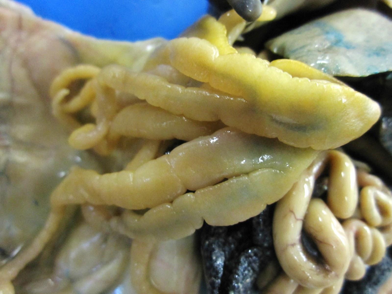 Biology 11 Bullfrog Dissection
