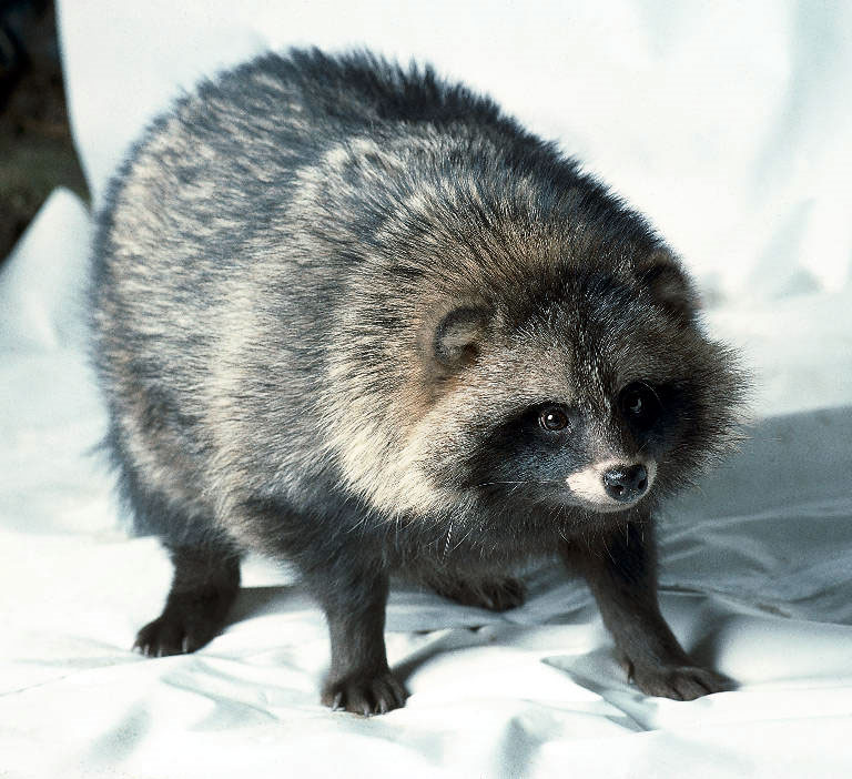 Germunds Blog: Mårdhund - Nyctereutes procyonoides ... Raccoon With Rabies