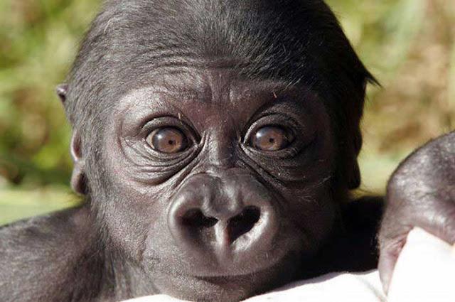 http://1.bp.blogspot.com/_f98opUNuVXc/TNRANDVG7iI/AAAAAAAATmw/mDSWCaNdNAI/s400/Baby+gorilla.jpg