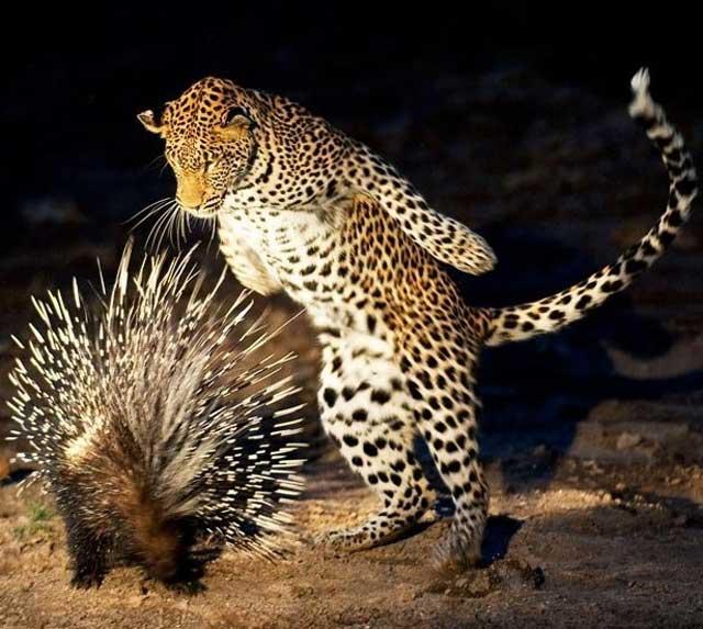 http://1.bp.blogspot.com/_f98opUNuVXc/TTHiKsvnBzI/AAAAAAAAVKc/aL2PT7LK2F0/s400/Cheetah%2Bwith%2Bporcupine.jpg