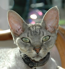 Dylan our Devon Rex