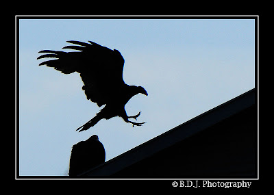A Turkey Vulture lands on an old shed.
