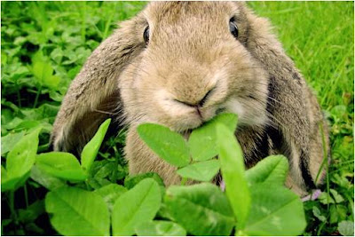 Quietland+Bunny+eating+clover.jpg