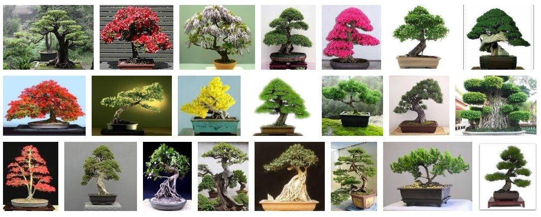 Bonsai como cuidar cuidados como fazer bonsai - Como cuidar bonsais ...