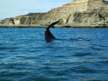 Peninsula Valdes (baleines)