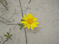 Flor de Bem-Me-Quer