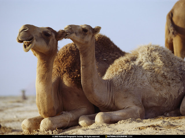 mammalia,animalia,cattle,camel,gif camel,gif ass,wilds,riding,dangerso