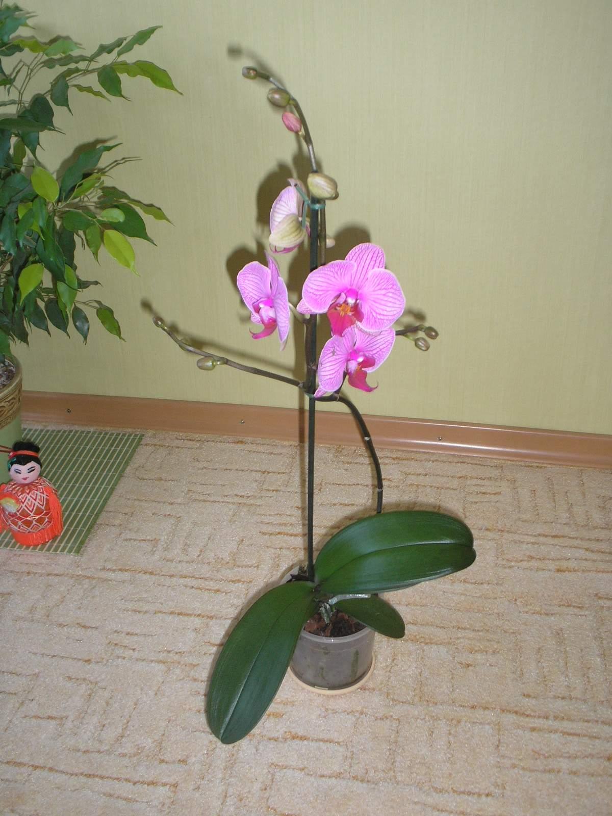 Как выбрать правильно орхидею в магазине