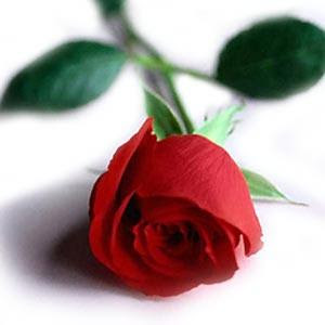 Why the Red Rose Signifies