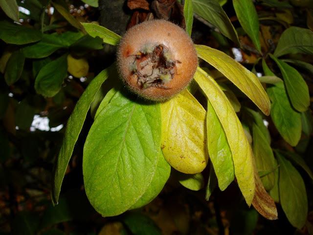 NISPOLERO: Mespilus germanica